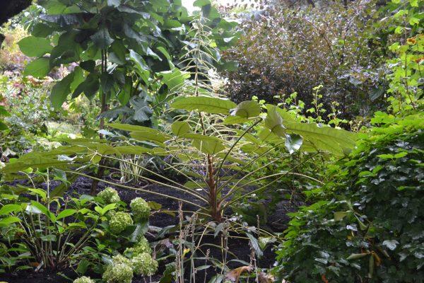 Schefflera davidii